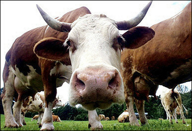 Bioplastic made from Mad Cow Disease? | ENSO Plastics Blog